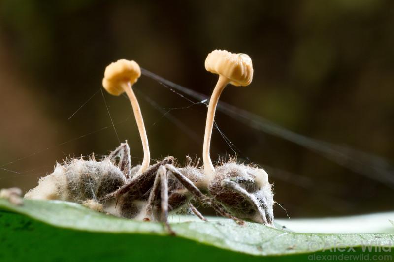 Ophiocordyceps lloydii var. lloydii