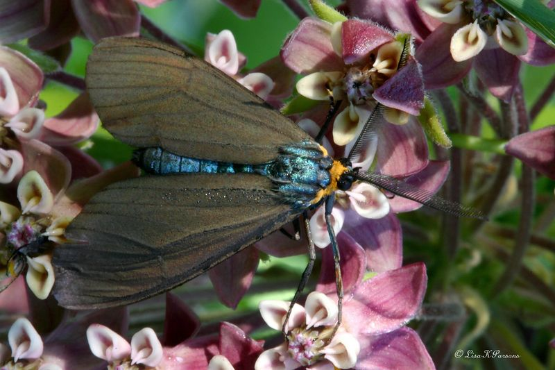 Tiger Moth - Virginia Ctenucha - Hodges#8262 (Ctenucha virginica)