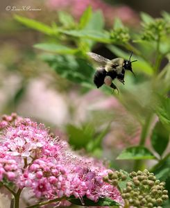 Bumble Bee - Genus Bombus - Family Apidae - Michigan -  Paw Prints Natures & Wildlife Photography