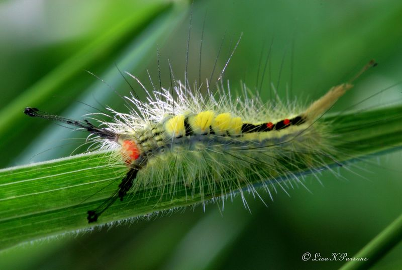 White-marked Tussock moth, Orgyia leucostigma - Lymantriidae - Michigan - Paw Prints Nature & Wildlife Photography