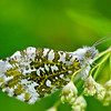 Orange-tip Butterfly (Female) Anthocharis Cardamines