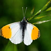Orange-tip Butterfly (Male) Anthocharis Cardamines