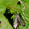 Common Scorpion Fly (Panorpidae)