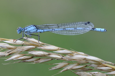 Narrow Winged Damselfly