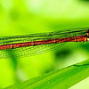 Narrow winged Damselfly/Large red Damselfly