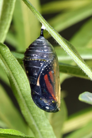 Monarch (Danaus plexippus) Pupa or Chrysalis