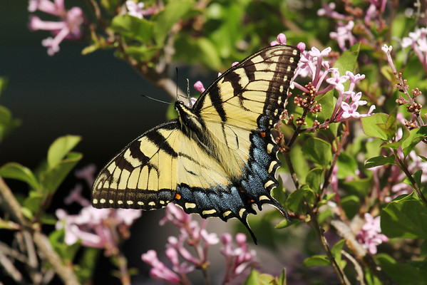 Tiger Swallowtail Butterfly On Lilac Bush (Papilio glaucus)