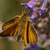 Least Skipper Butterfly