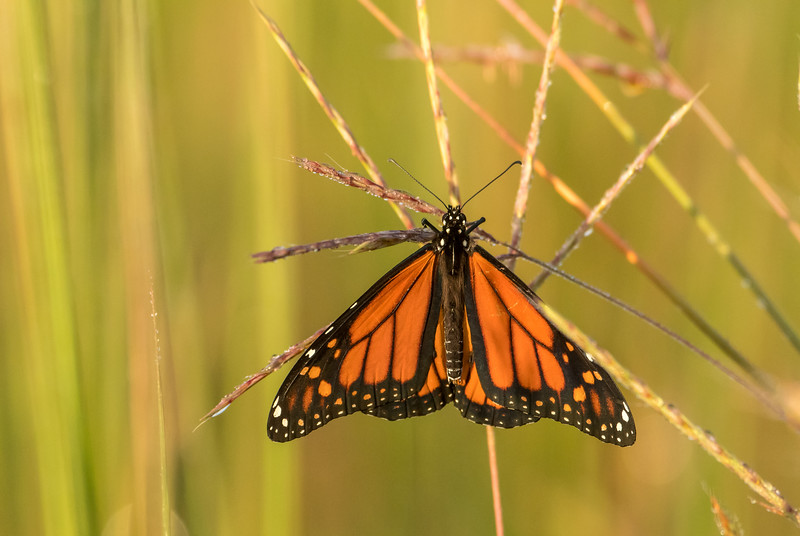 Monarch on Big Bluestem Grass