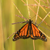 Monarch on Big Bluestem Grass