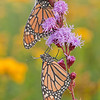 INS-10007: Dew-covered Monarch pair