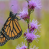 Monarch roosting on Rough Blazing Star
