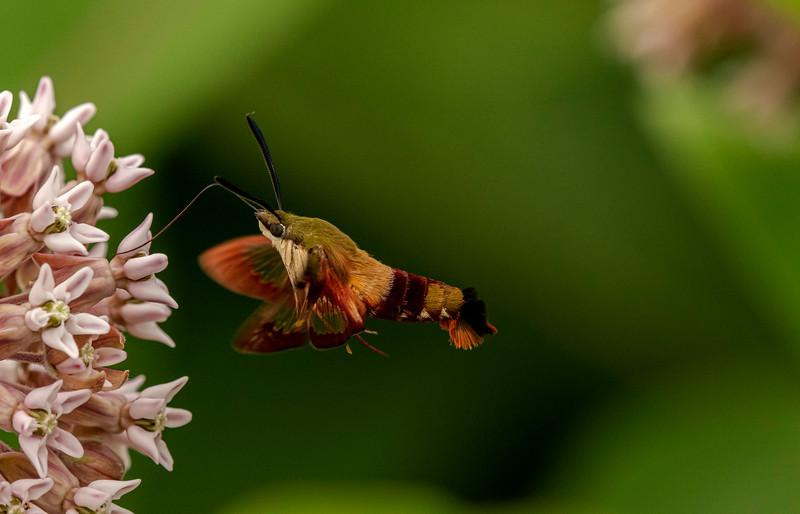 Clearwing Hummingbird Moth on Milkweed flowers