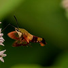 Clearwing Hummingbird Moth on Milkweed flowers