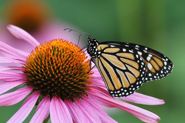 Monarch Butterfly S (Danaus plexippus)
