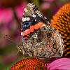 Red Admiral on Purple Cone Flowers