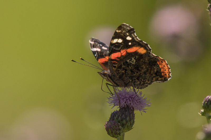 Red Admiral on Field Thistle