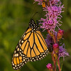 Monarch getting nectar