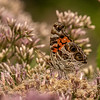 American Lady on Joe Pye-weed