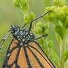 Dew Covered Monarch Butterfly Close-up