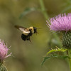 Bumble Bee and thistles