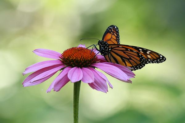 Monarch Butterfly O (Danaus plexippus)