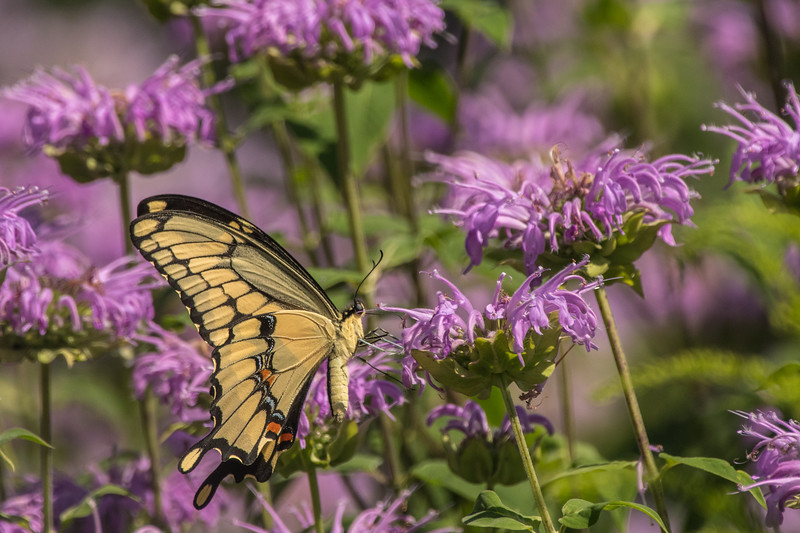 Giant Swallowtail on field of Bee Balm