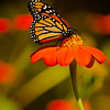 INST-11029: Monarch on Mexican Sunflowers