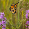 Monarch on the wing