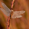 INST-11061: Autumn Meadowhawk Dragonfly (Sympetrum vicinum) on Big Bluestem Grass