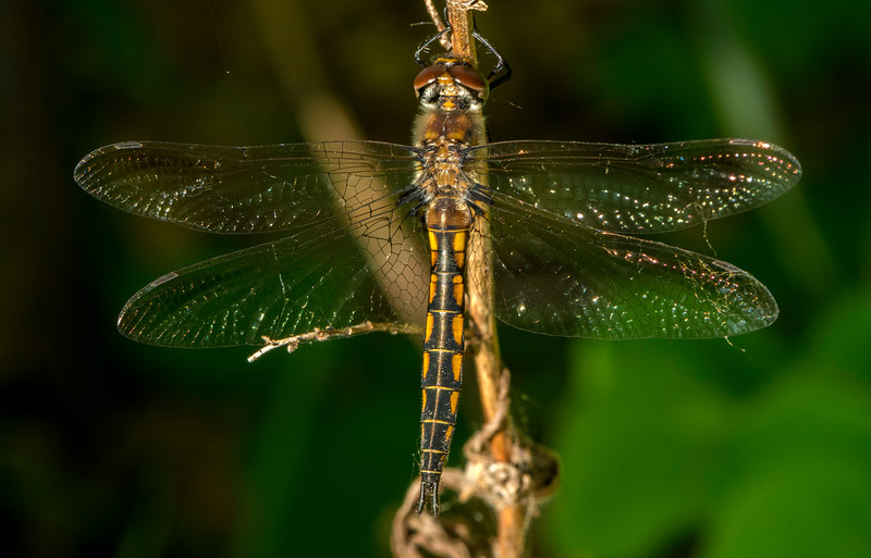 Spiny Baskettail Dragonfly