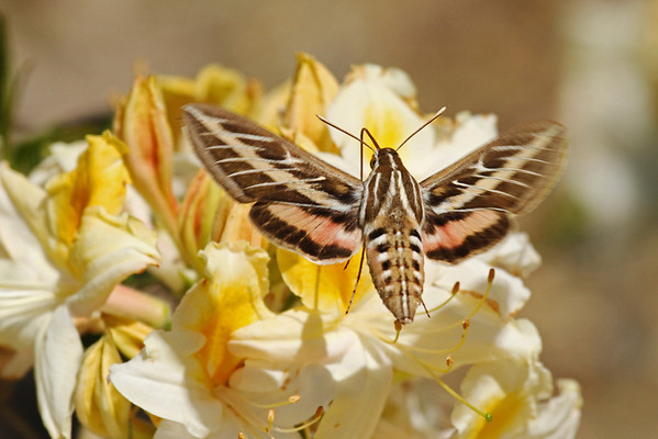 White-Lined Hummingbird Sphinx Moth (Hyles lineata)