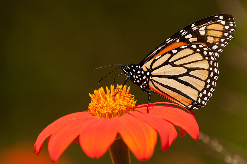 INST-11025: Monarch Butterfly on Tithonia (Mexican Sunflower)
