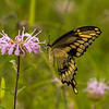 Giant Swallowtail on Wild Bergamot