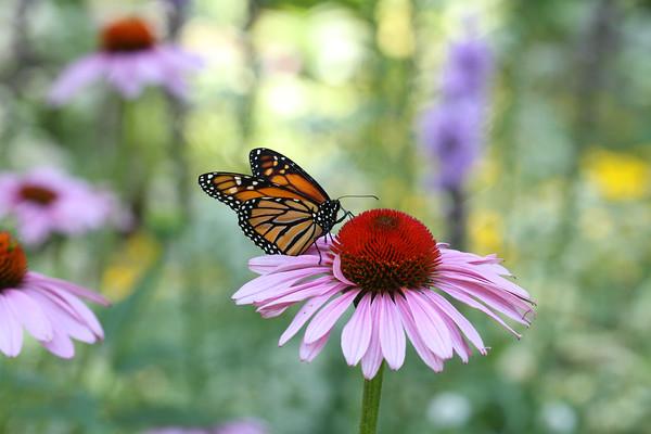 Monarch Butterfly F (Danaus plexippus)