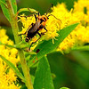 Goldenrod Soldier Beetle (Chauliognathus pensylvanicus) on goldenrod