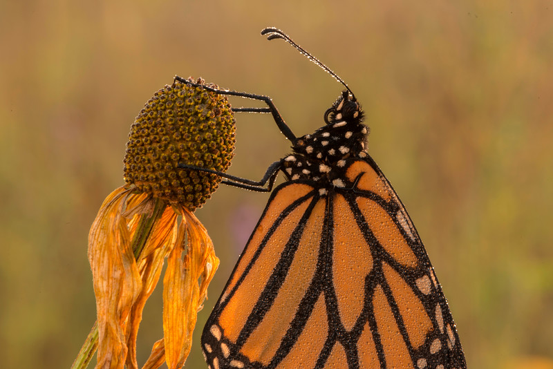 Dew-covered Monarch