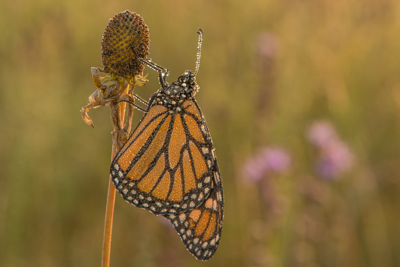 Dew-covered Monarch in early morning