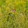 Monarch pair environmental
