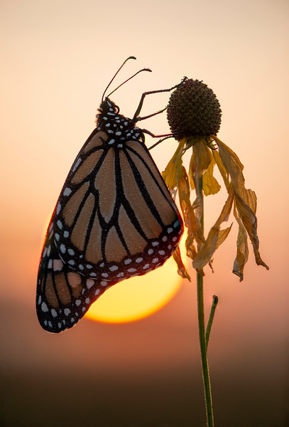 Rising sun and Monarch