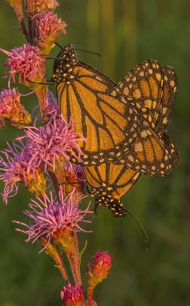 Monarchs on Meadow Blazing Star
