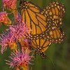 Monarchs on Meadow Blazing Star