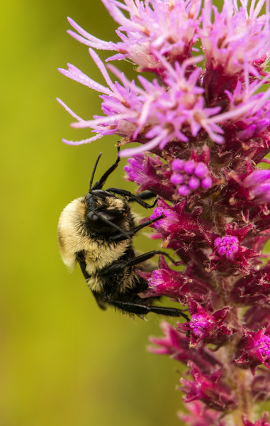 INST-14-59: Bumble Bee on Blazing Star