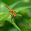 Ruby Meadowhawk Damselfly