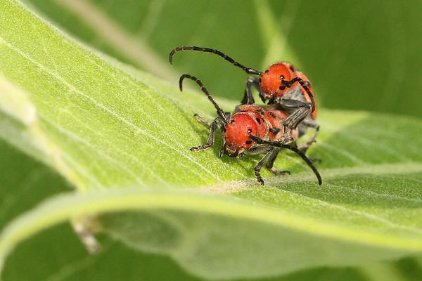 Red Milkweed Beetle On Milkweed Plant (Tetraopes tetrophthalmus)