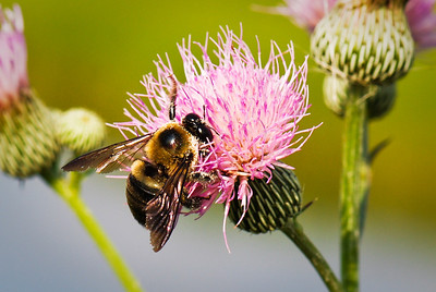 Bee on thistle Dinner Island Ranch WMA Hendry County, Florida © 2010