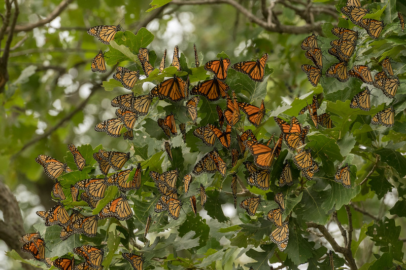 Monarchs on Oak Tree