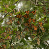 Monarchs on Oak Tree
