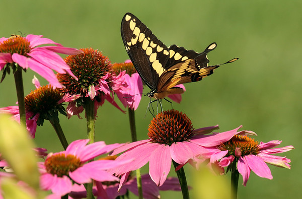 Swallowtail Butterfly (Papilionidae) On Cone Flower