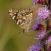 Painted Lady with visitor